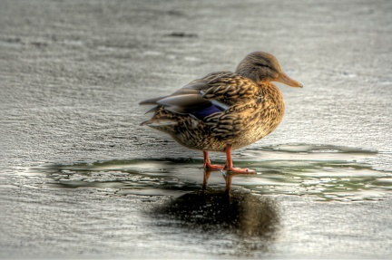 duck-on-thin-ice 15772474104 o