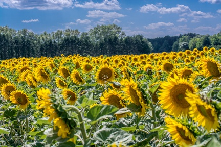 sunflowerfield 19578375502 o